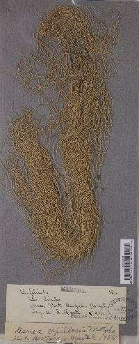 Usnea capillaris image