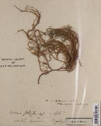 Usnea plicata image