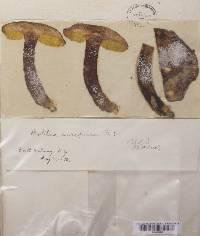 Boletus auriporus image