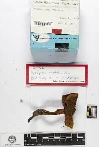 Gymnopilus armillatus image