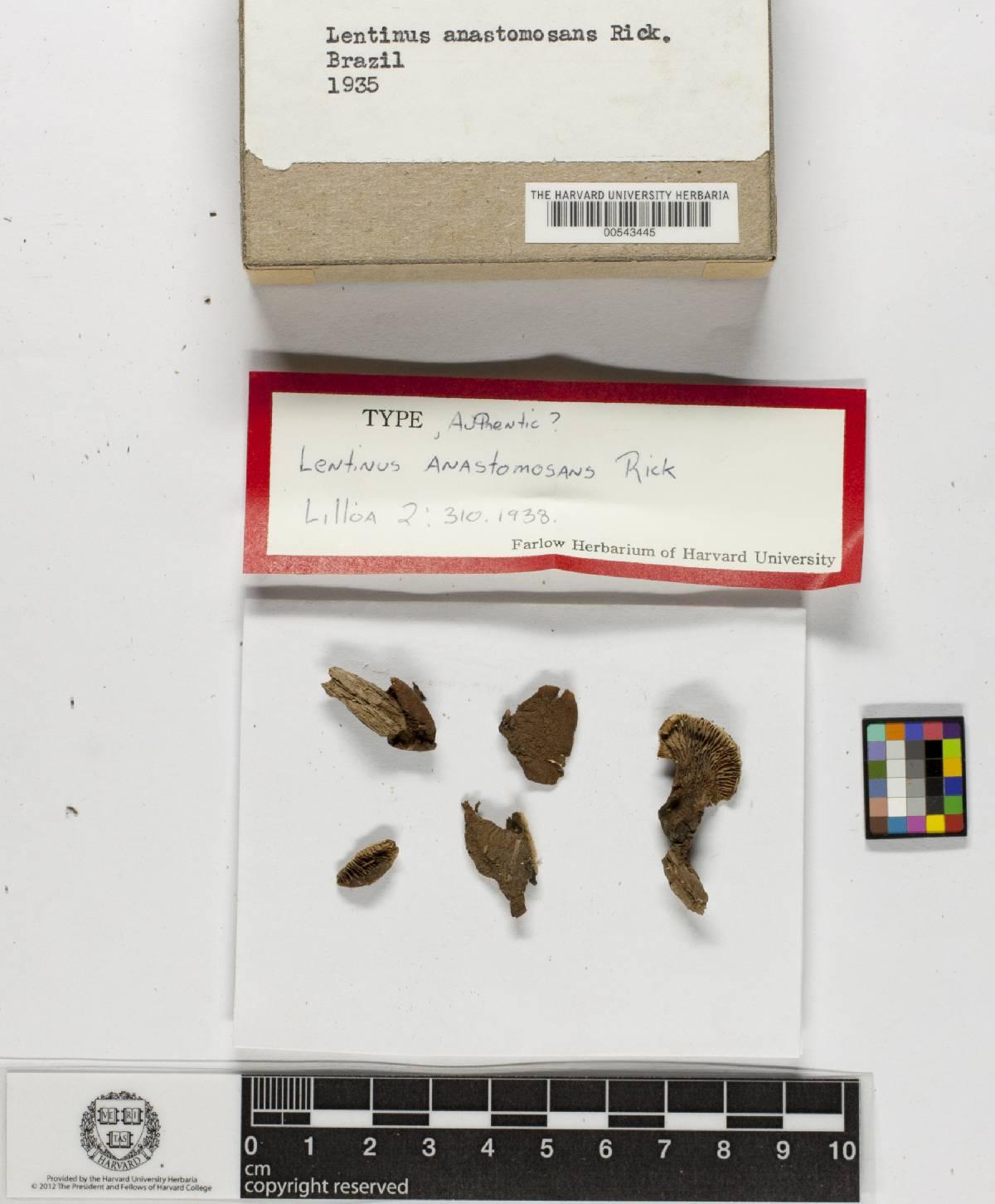 Lentinus anastomosans image