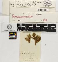 Clavaria abietina image