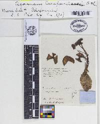 Image of Agaricus californiensis