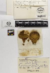 Lycoperdon calvescens image