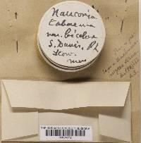 Naucoria tabacina image