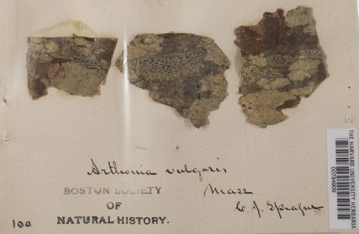 Arthonia vulgaris image