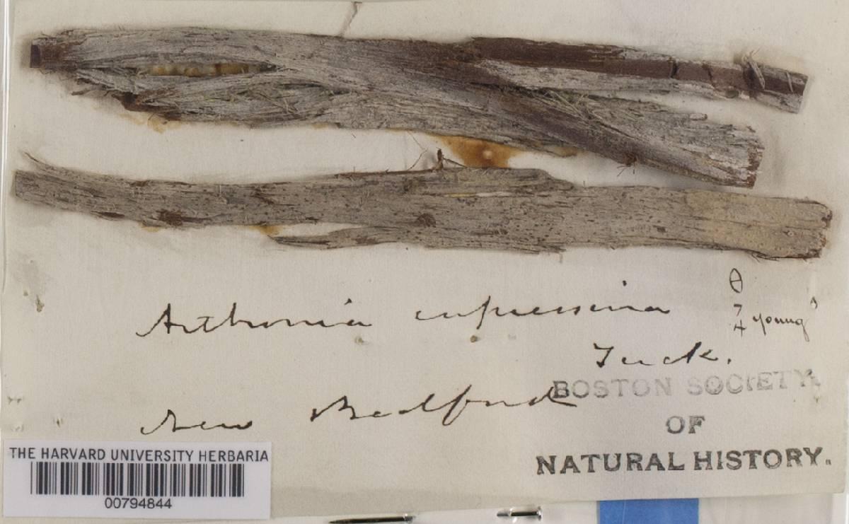 Arthonia cupressina image