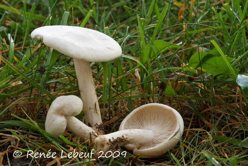 Melanoleuca heterocystidiosa image