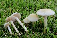 Agrocybe dura image
