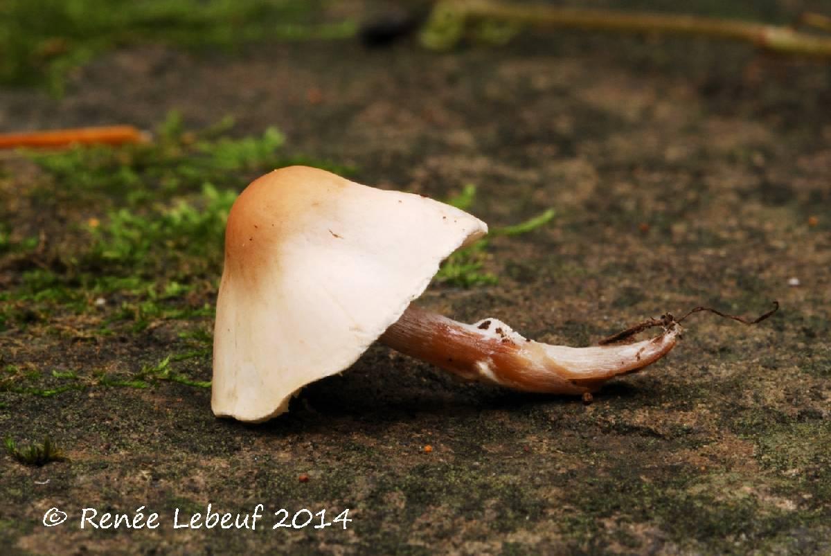 Lepiota neophana image