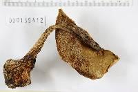 Boletus pinicola image