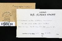Chroogomphus rutilus image