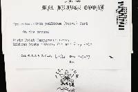 Tremellodendron pallidum image