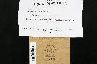 Mycena luteopallens image