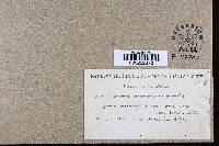 Image of Phellinus linteus
