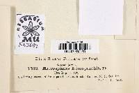 Image of Microsphaera nemopanthis