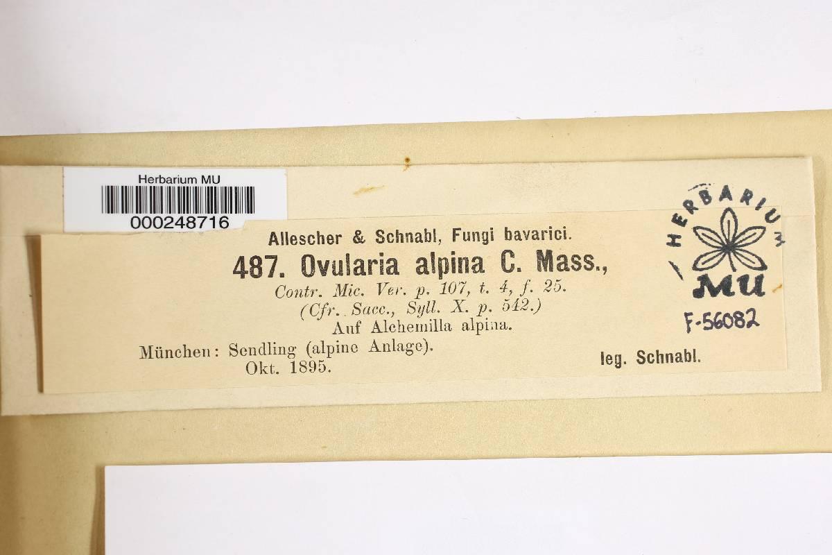 Ovularia alpina image