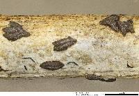 Image of Rhytidhysteron rufulum