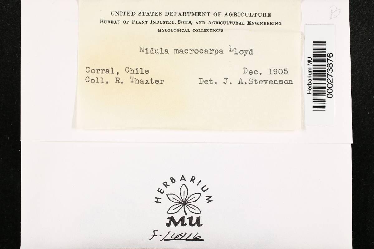 Nidula macrocarpa image