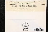 Ramularia anchusae image