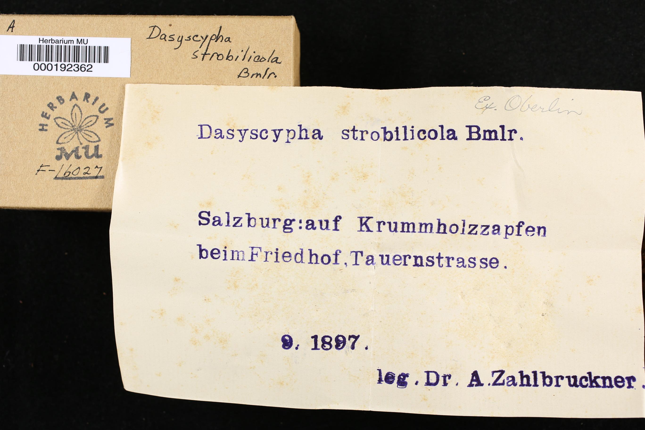 Dasyscypha strobilicolus image