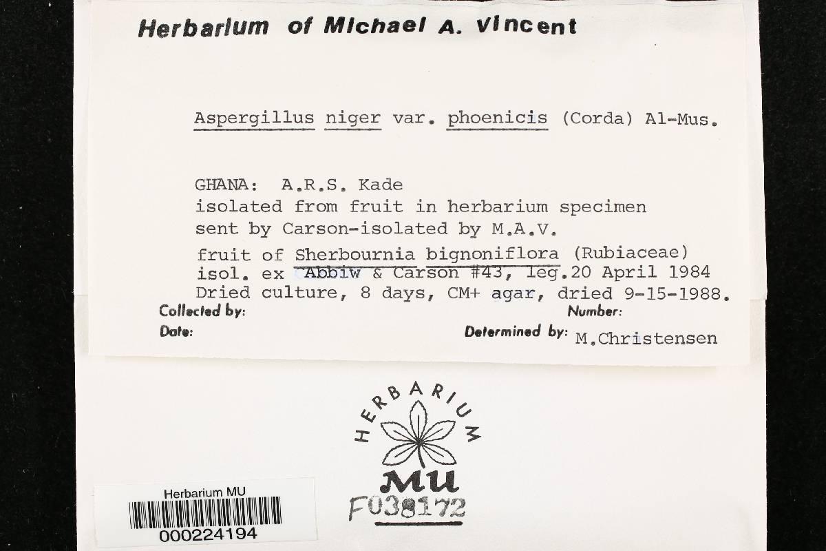 Aspergillus niger var. phoenicis image