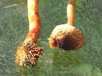 Lepiota castanea image