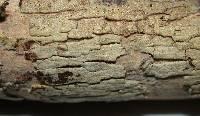 Dacryobolus karstenii image