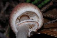 Lepiota castaneidisca image