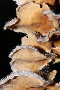 Stereum ochraceoflavum image