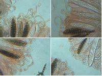Geoglossum barlae image