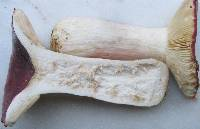 Russula persicina image