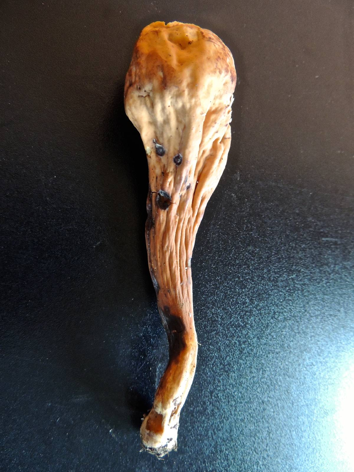 Clavariadelphus flavoimmaturus image