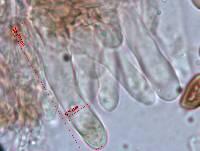 Panaeolus cyanescens image