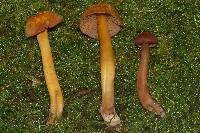 Hygrocybe purpureofolia image
