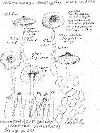Inocybe acuta image