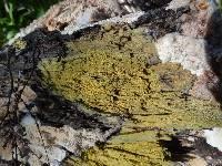 Mycoacia uda image