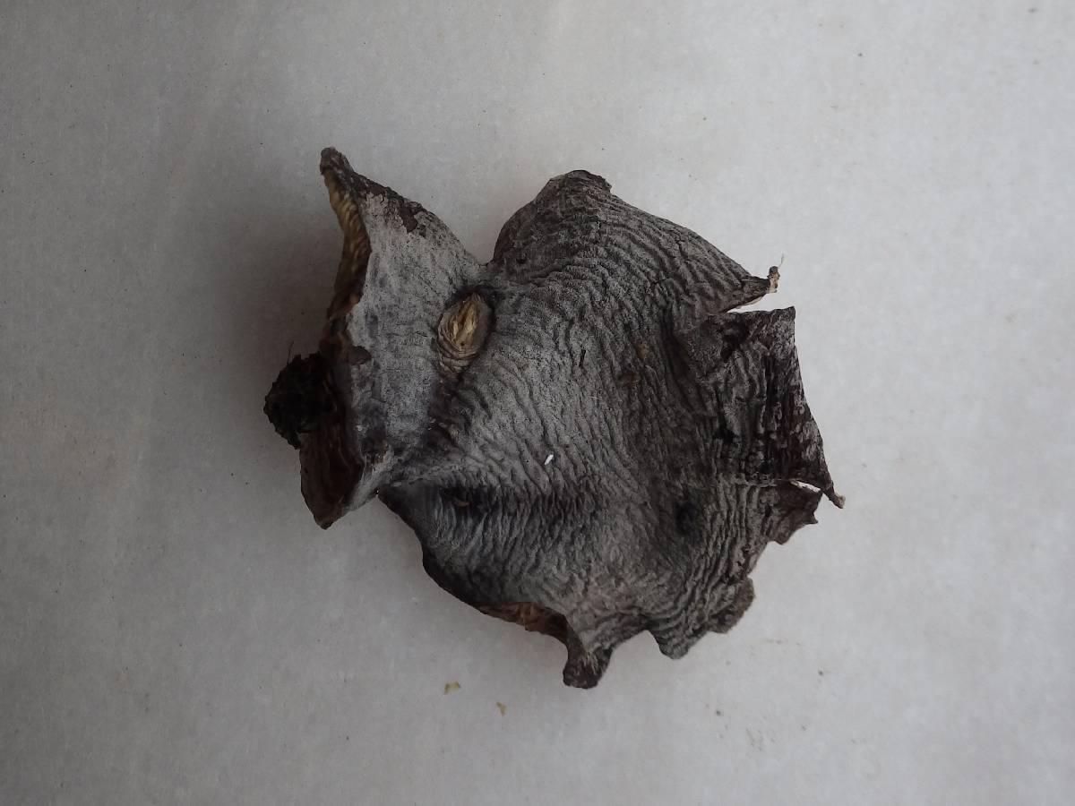 Hohenbuehelia atrocaerulea image