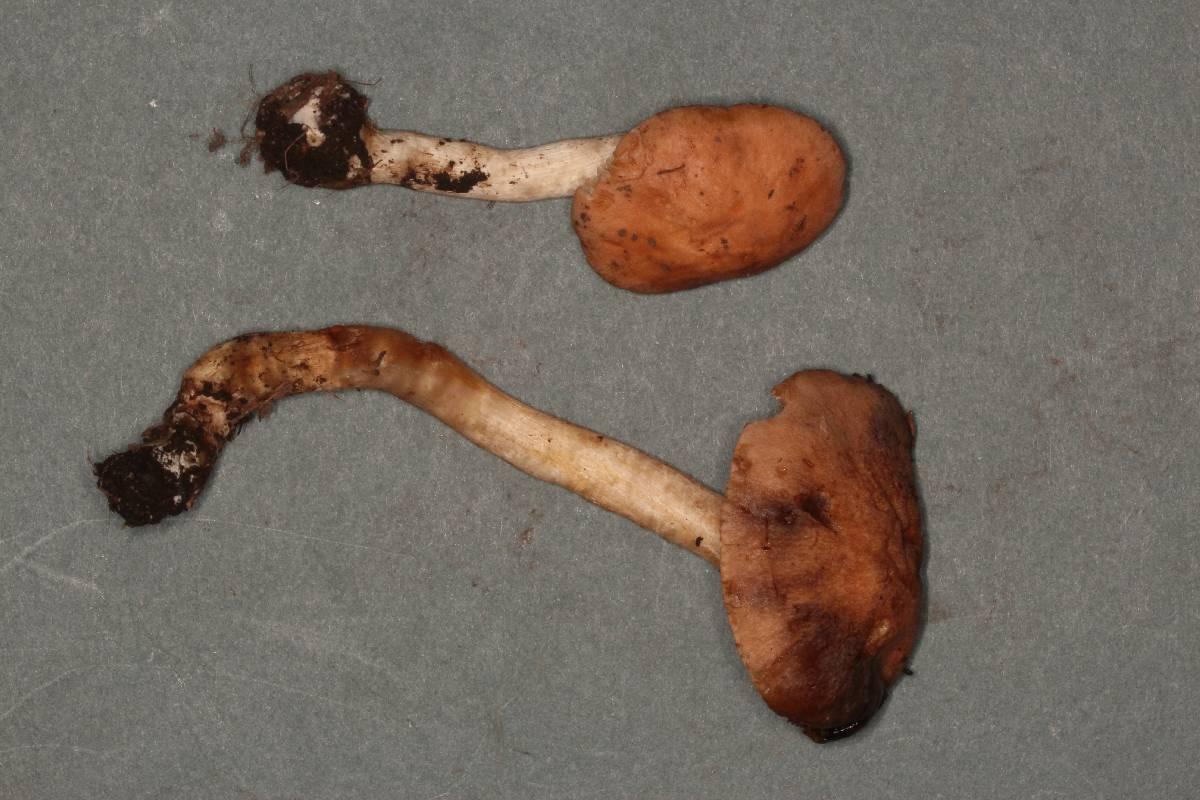 Hebeloma theobrominum image