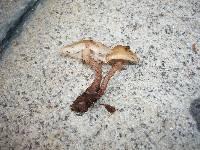 Cystoderma subvinaceum image