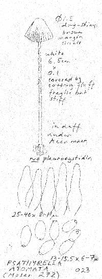 Psathyrella potteri image