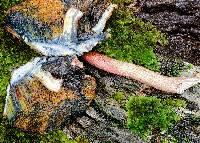Boletellus emodensis image