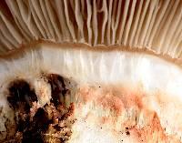 Gomphidius subroseus image