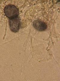 Aleurodiscus grantii image
