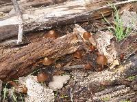 Psathyrella atrospora image