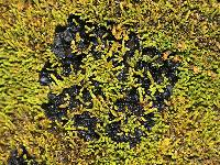 Collema bachmanianum image