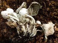 Leucocoprinus cepistipes image
