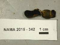 Chamonixia brevicolumna image