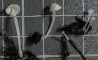Hemimycena pseudolactea image