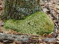 Pseudoplectania nigrella image